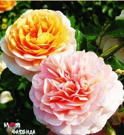 Братья топалович розы официальный сайт